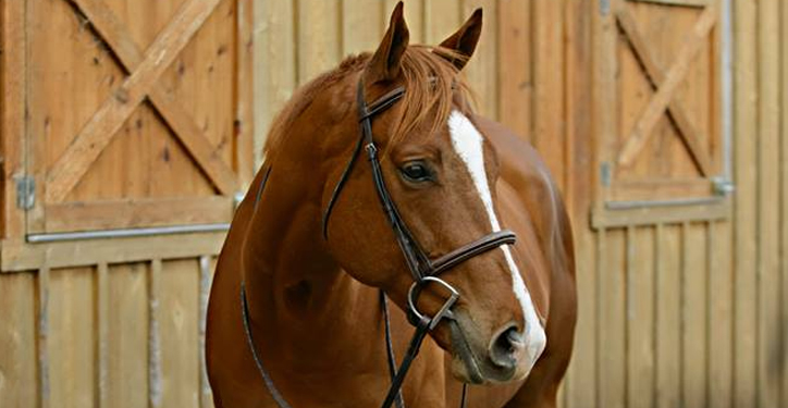 Miles Chestnut Thoroughbred Gelding
