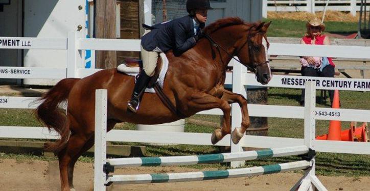 Visa Chestnut Quarter Horse Gelding